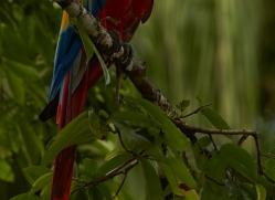 Scarlet-Macaw-copyright-photographers-on-safari-com-6709
