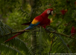 Scarlet-Macaw-copyright-photographers-on-safari-com-6712
