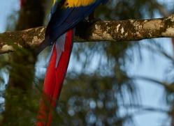 Scarlet-Macaw-copyright-photographers-on-safari-com-6713