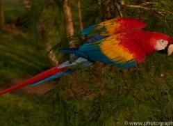 Scarlet-Macaw-copyright-photographers-on-safari-com-6715