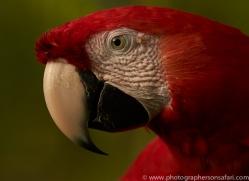 Scarlet-Macaw-copyright-photographers-on-safari-com-6716