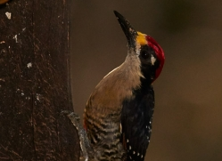 black-cheeked-woodpecker-copyright-photographers-on-safari-com-6727