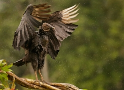 black-vulture-copyright-photographers-on-safari-com-8089