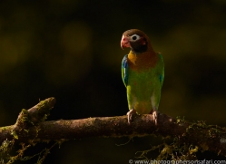 brown-hooded-parrot-copyright-photographers-on-safari-com-6683
