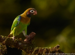 brown-hooded-parrot-copyright-photographers-on-safari-com-6684