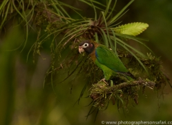 brown-hooded-parrot-copyright-photographers-on-safari-com-6685