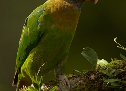 brown-hooded-parrot-copyright-photographers-on-safari-com-8090