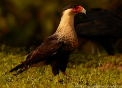 crested-caracara-copyright-photographers-on-safari-com-6736