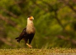 crested-caracara-copyright-photographers-on-safari-com-8096