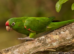 crimson-fronted-parakeet-copyright-photographers-on-safari-com-6679