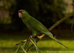 crimson-fronted-parakeet-copyright-photographers-on-safari-com-6680