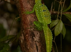 emerald-basilisk-copyright-photographers-on-safari-com-8097