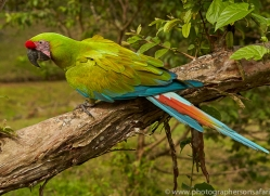 great-green-macaw-copyright-photographers-on-safari-com-6625