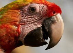 great-green-macaw-copyright-photographers-on-safari-com-6626