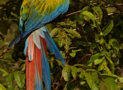 great-green-macaw-copyright-photographers-on-safari-com-6627
