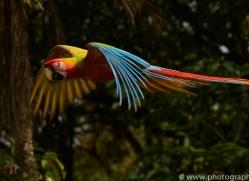 great-green-macaw-copyright-photographers-on-safari-com-6628
