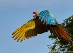 great-green-macaw-copyright-photographers-on-safari-com-6633