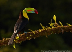 keel-billed-toucan-copyright-photographers-on-safari-com-6642