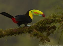 keel-billed-toucan-copyright-photographers-on-safari-com-6651