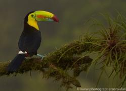 keel-billed-toucan-copyright-photographers-on-safari-com-6652