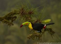 keel-billed-toucan-copyright-photographers-on-safari-com-6653
