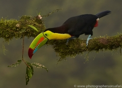 keel-billed-toucan-copyright-photographers-on-safari-com-6654