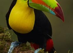 keel-billed-toucan-copyright-photographers-on-safari-com-6658