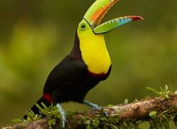 keel-billed-toucan-copyright-photographers-on-safari-com-8104