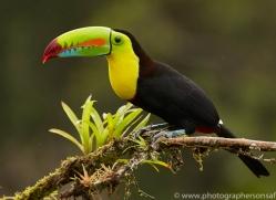 keel-billed-toucan-copyright-photographers-on-safari-com-8106