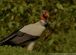 king-vulture-copyright-photographers-on-safari-com-6662