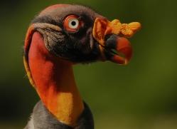 king-vulture-copyright-photographers-on-safari-com-6668