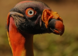 king-vulture-copyright-photographers-on-safari-com-6669