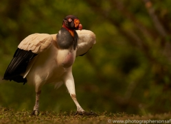 king-vulture-copyright-photographers-on-safari-com-8107