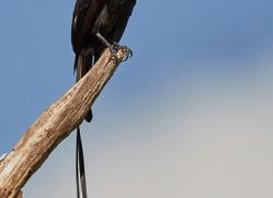 long-tailed-tyrant-copyright-photographers-on-safari-com-6725