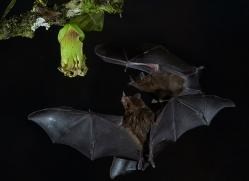 long-tongue-bat-copyright-photographers-on-safari-com-8113