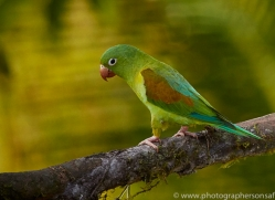 orange-chinned-parakeet-copyright-photographers-on-safari-com-6680