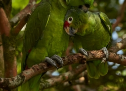 parrots-copyright-photographers-on-safari-com-6681