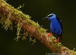 red-legged-honeycreeper-copyright-photographers-on-safari-com-6723