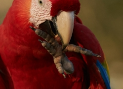 scarlet-macaw-copyright-photographers-on-safari-com-8117