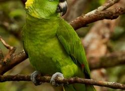 yellow-naped-parrot-copyright-photographers-on-safari-com-8121