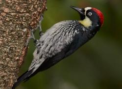 acorn-woodpecker-5216-copyright-photographers-on-safari-com