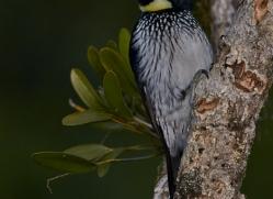 acorn-woodpecker-5219-copyright-photographers-on-safari-com