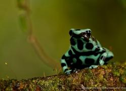 black-and-green-dart-frog-5140-copyright-photographers-on-safari-com