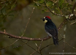 acorn-woodpecker-5218-copyright-photographers-on-safari-com