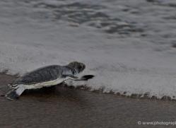 atlantic-green-sea-turtle-5146-copyright-photographers-on-safari-com