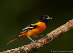 baltimore-oriole-5290-copyright-photographers-on-safari-com