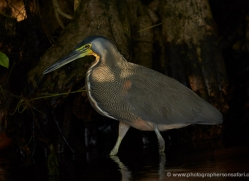 bare-throated-tiger-heron-5252-copyright-photographers-on-safari-com