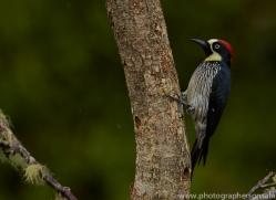 Acorn Woodpecker 2014 -1copyright-photographers-on-safari-com
