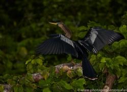 Anhinga 2014 -1copyright-photographers-on-safari-com