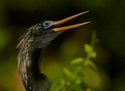 Anhinga 2014 -5copyright-photographers-on-safari-com